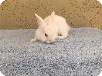Lionhead for adoption in Bonita, California - Landis boy
