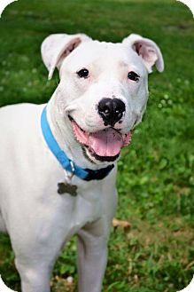 American Bulldog/Dalmatian Mix Dog for adoption in Eastpointe, Michigan - Ghost