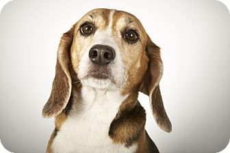 Beagle Dog for adoption in New York, New York - Rebecca Louise