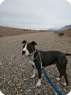 American Pit Bull Terrier Dog for adoption in El Paso, Texas - Macy