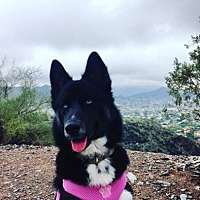 Siberian Husky Puppy for adoption in Scottsdale, Arizona - Nessie