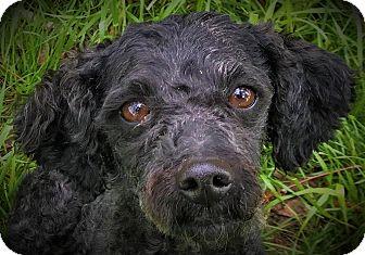 Miniature Poodle Dog for adoption in Oswego, Illinois - James