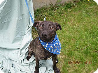 Boxer/Labrador Retriever Mix Puppy for adoption in Glastonbury, Connecticut - Donate