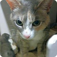 Adopt A Pet :: Calliflower - Trevose, PA