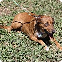 Adopt A Pet :: Rusty Hound - Bandera, TX