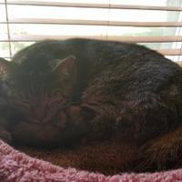 Adopt A Pet :: cleo - Muskegon, MI
