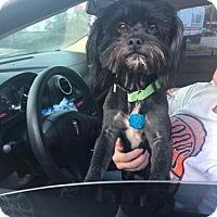 Shih Tzu Mix Dog for adoption in Rockville, Maryland - Trent