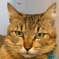 Domestic Shorthair/Domestic Shorthair Mix Cat for adoption in Oskaloosa, Iowa - Sam