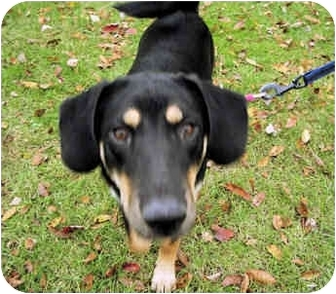 Shepherd (Unknown Type)/Hound (Unknown Type) Mix Puppy for adoption in Rockville, Maryland - Daisy