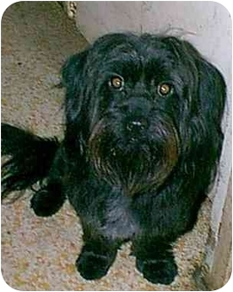 Chihuahua/Poodle (Toy or Tea Cup) Mix Dog for adoption in dewey, Arizona - ROSIE