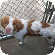 Brittany Dog for adoption in Odenton, Maryland - COOPER-Pending!
