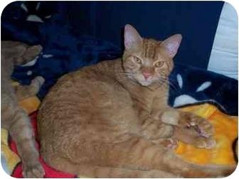 Domestic Shorthair Cat for adoption in Davis, California - Helios