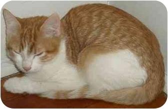 Domestic Shorthair Kitten for adoption in Medford, Massachusetts - Houdini