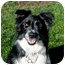Photo 2 - Border Collie Dog for adoption in San Pedro, California - SOPHIE