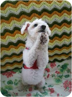Poodle (Toy or Tea Cup) Dog for adoption in Essex Junction, Vermont - BeBe