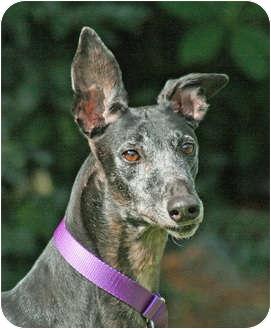 Greyhound Dog for adoption in Portland, Oregon - Ima