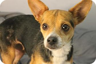 Chihuahua Mix Dog for adoption in Charleston, South Carolina - Rita