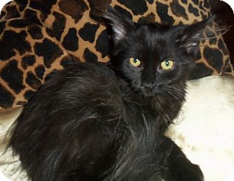 Domestic Longhair Kitten for adoption in Sterling Hgts, Michigan - Shnapps
