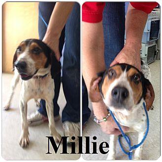 Bluetick Coonhound Dog for adoption in Franklin, North Carolina - MILLE