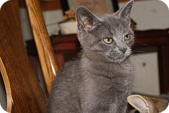 Russian Blue Kitten for adoption in Trevose, Pennsylvania - Balu