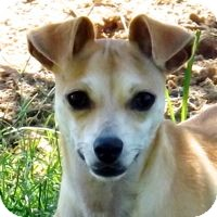 Chihuahua Mix Dog for adoption in San Leon, Texas - Conner