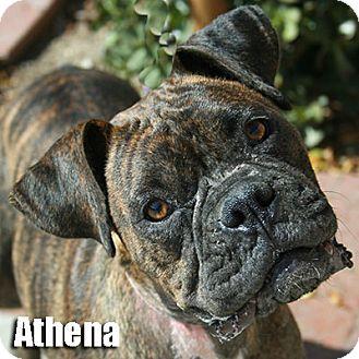 Boxer Puppy for adoption in Encino, California - Athena