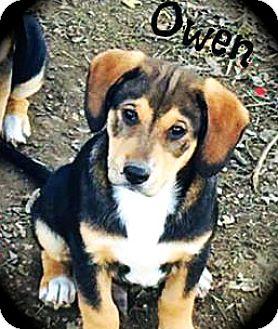 Labrador Retriever/Shepherd (Unknown Type) Mix Puppy for adoption in Glastonbury, Connecticut - Owen