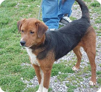 Harrier/Beagle Mix Dog for adoption in Corinth, Mississippi - Stormy