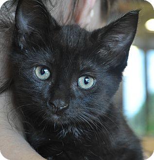 Domestic Shorthair Kitten for adoption in Atlanta, Georgia - CeCe