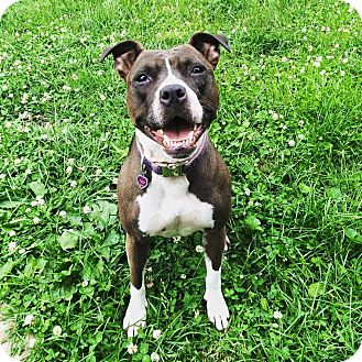 American Staffordshire Terrier Mix Dog for adoption in nashville, Tennessee - Star