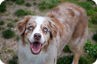 Australian Shepherd Dog for adoption in St. Louis, Missouri - Max