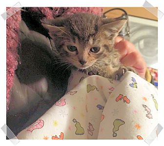 Domestic Shorthair Kitten for adoption in Olmsted Falls, Ohio - Buttercup