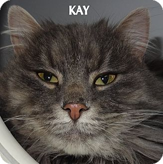 Domestic Longhair Cat for adoption in Lapeer, Michigan - KAY--GORGEOUS! FEE WAIVED
