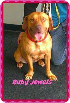 Mastiff/Labrador Retriever Mix Dog for adoption in Sanford, Florida - Ruby Jewels