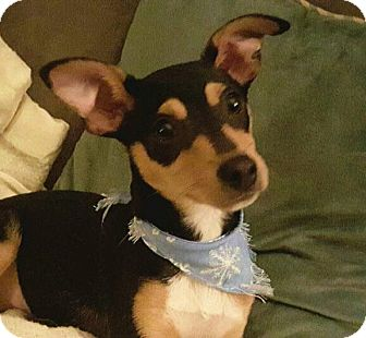Manchester Terrier Mix Puppy for adoption in LaGrange, Kentucky - Little Buddy