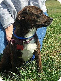 Chihuahua Mix Dog for adoption in Covington, Virginia - Penny