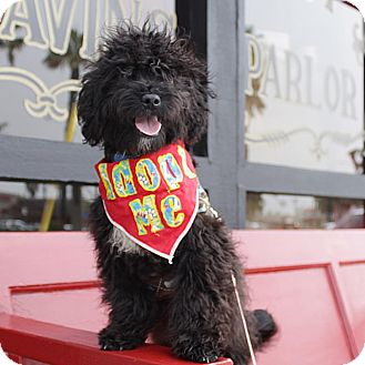 Poodle (Toy or Tea Cup)/Terrier (Unknown Type, Small) Mix Puppy for adoption in Redondo Beach, California - Karl-ADOPT Me!