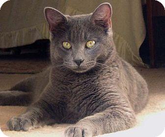 Russian Blue Cat for adoption in Walnut Creek, California - Valentino