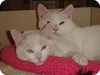 Domestic Shorthair Cat for adoption in Garland, Texas - Banzai