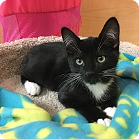 Adopt A Pet :: Pinto - Foothill Ranch, CA