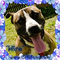 Adopt A Pet :: Hiro - Lowell, IN