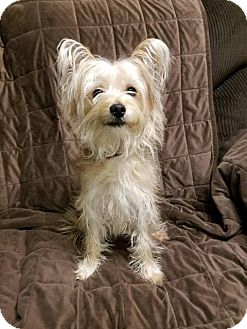 Yorkie, Yorkshire Terrier/Chihuahua Mix Dog for adoption in Foster, Rhode Island - Hamlet