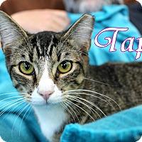 Domestic Shorthair Kitten for adoption in Wichita Falls, Texas - Taps