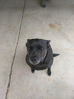 Chihuahua Mix Dog for adoption in Mesa, Arizona - Mama