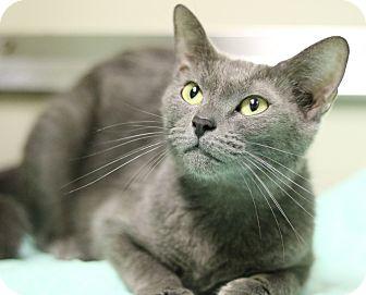 Russian Blue Cat for adoption in Cedartown, Georgia - 35243805