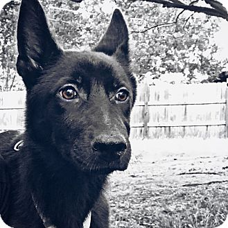 Shepherd (Unknown Type) Mix Puppy for adoption in Portland, Oregon - Lexi