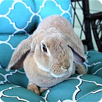 Lop-Eared Mix for adoption in Hillside, New Jersey - Buzz