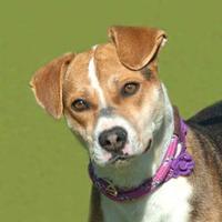 Adopt A Pet :: Livvy *Graduate* - Glen Allen, VA