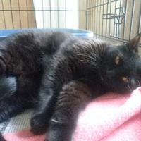 Domestic Shorthair/Domestic Shorthair Mix Cat for adoption in Palm Harbor, Florida - Stanley