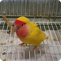 Adopt A Pet :: Lovely Aka Lovey - Elizabeth, CO